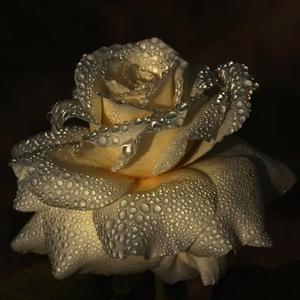 Ruža s perlami