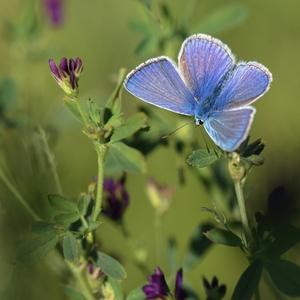 Modráčik ďatelinový