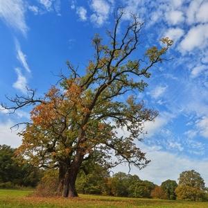 Starý dub v jeseni