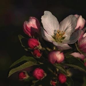 Kvety jablone