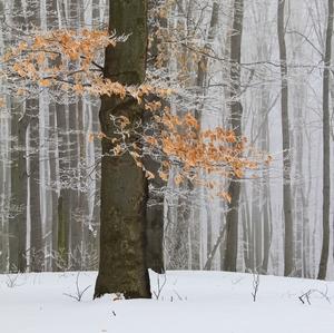 Zima v bukovom lese