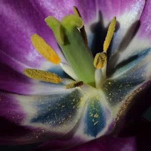 V tulipáne