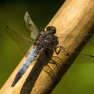 Sediaca vážka
