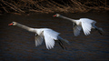 Pristávajúce labute