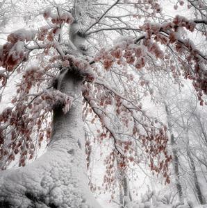 Pod bielym stromom