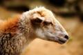 Som ovca
