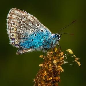 Modráčik