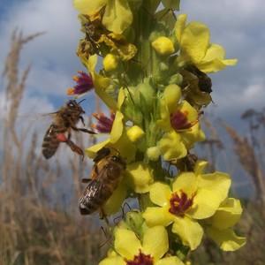 Zber nektaru