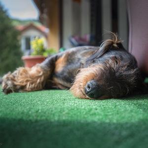 pes spí
