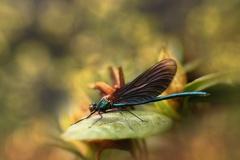 Motýlice ...