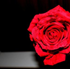 kiss ftom a rose