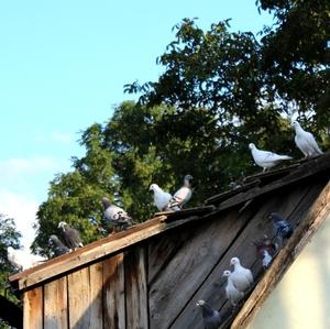 zpívam ptákum a zvlášt holubúm