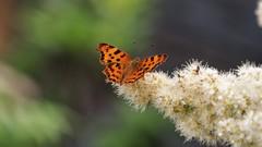 trochu motýľov