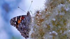 a zas motýľ