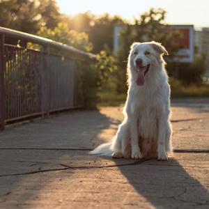 Sidliskovy pes