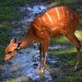 ... bambi ...