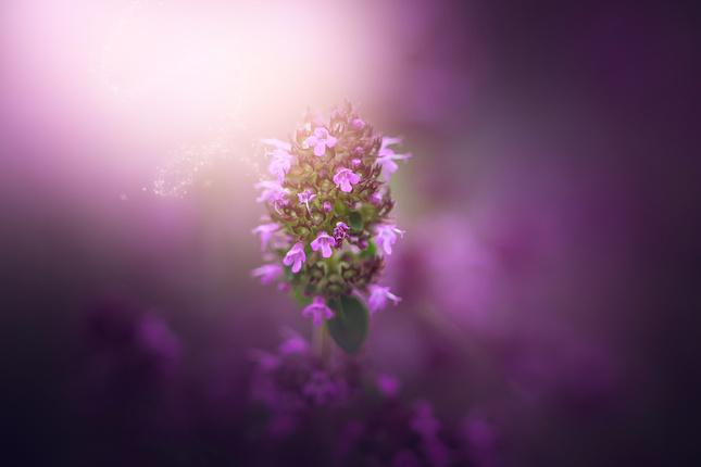fragrance herb