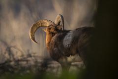 Mohutný zátylok muflón