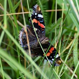 Motýľ Babôčka Admirál