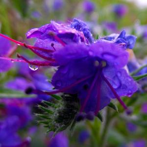 -Purple Macro-