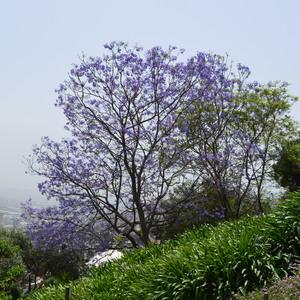 Strom v bahajskej záhrade