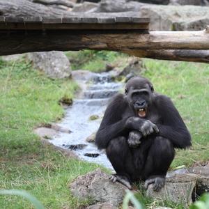 zývajúca gorila