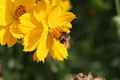 včelička usilovná