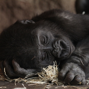 mala gorila