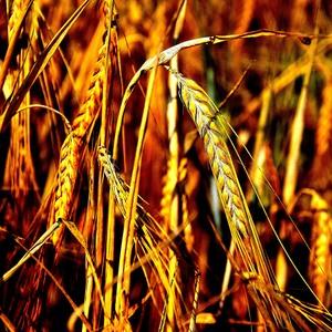 evening barley