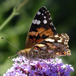 Predvádzajúci sa motýľ...