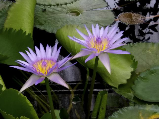 Lekná v botanickej záhrade