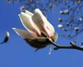 Magnólia v botanickej záhrade...