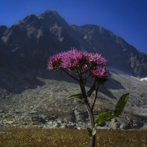 Kvetena Vysokých Tatier