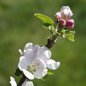 Rozkvitnutá jablonka...