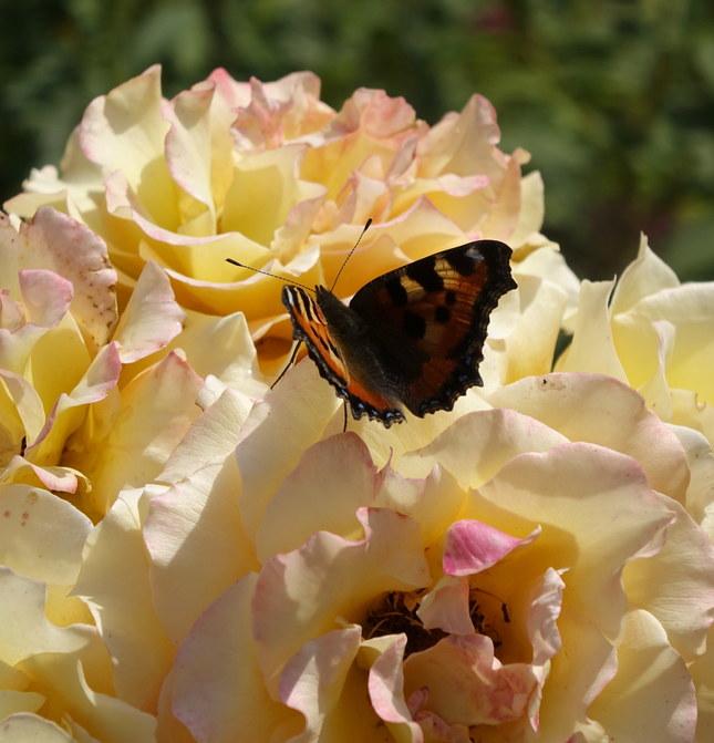 Motýľová...