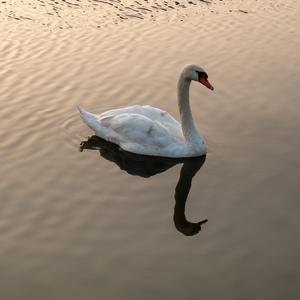 Kazdy v PN ma svoju labut :)