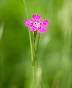 Klinček slzičkový-Dianthus delto