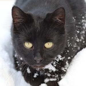 Čierna puma