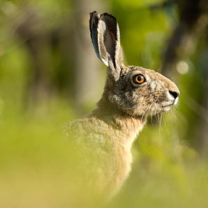 pán zajac