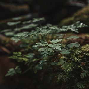 Rastlinka