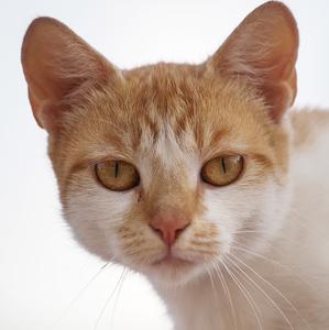 Mačkis