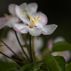 Keď kvitnú jablone