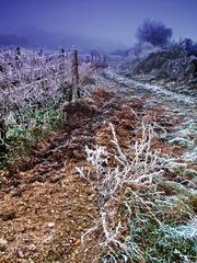 Zmrznutý vinohrad