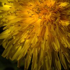 Žltý lampáš