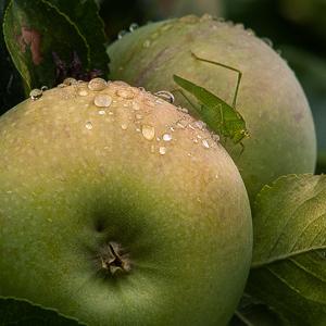 Koník vraný na jabloni