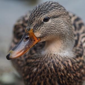 """""""duck face"""" portrét"""