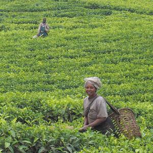 zber čaju v afrike
