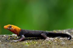 Gekon Gonatodes albogularis
