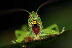 Kobylka s korisťou