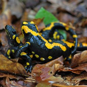 Salamandrie pytačky